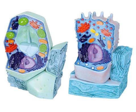Tierische Zelle-2