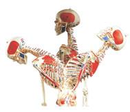 Universal-Skelett A13 für Schulen