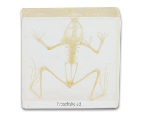 Froschskelett Rana catesbeiana