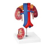 Nieren mit Gefässen