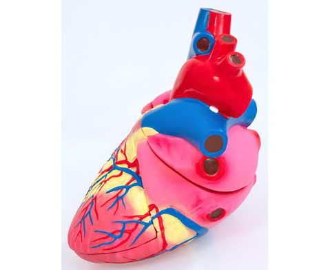Grosses Modell vom menschlichen Herz