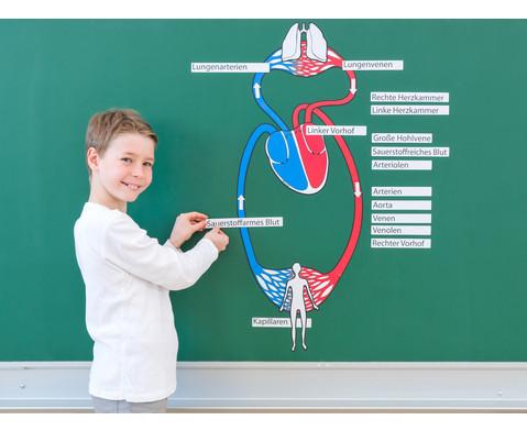 Blutkreislauf magnetisch-4