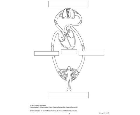 Blutkreislauf magnetisch-8